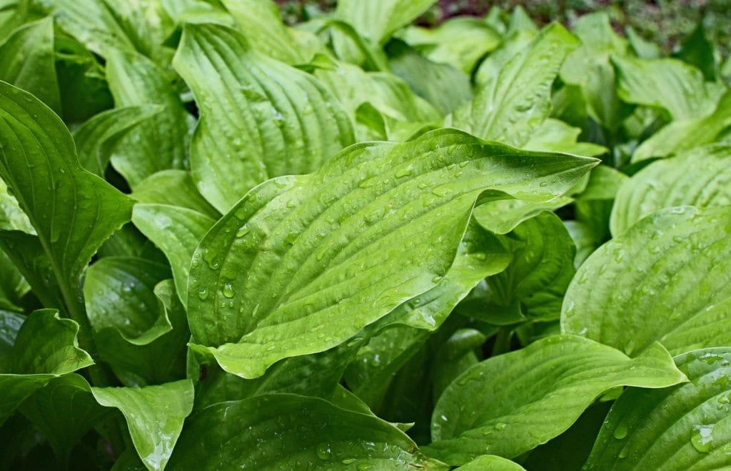wild plantain skincare